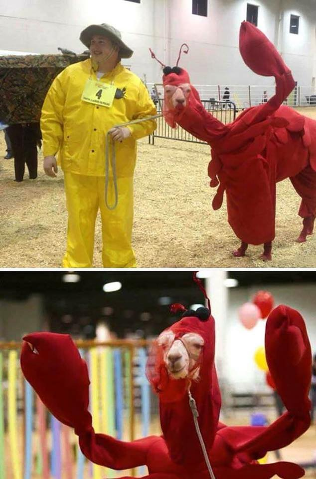 A llama in a lobster costume, that is all.