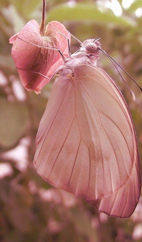 Beautiful Pink Butterfly on a pink bleeding heart bloom.