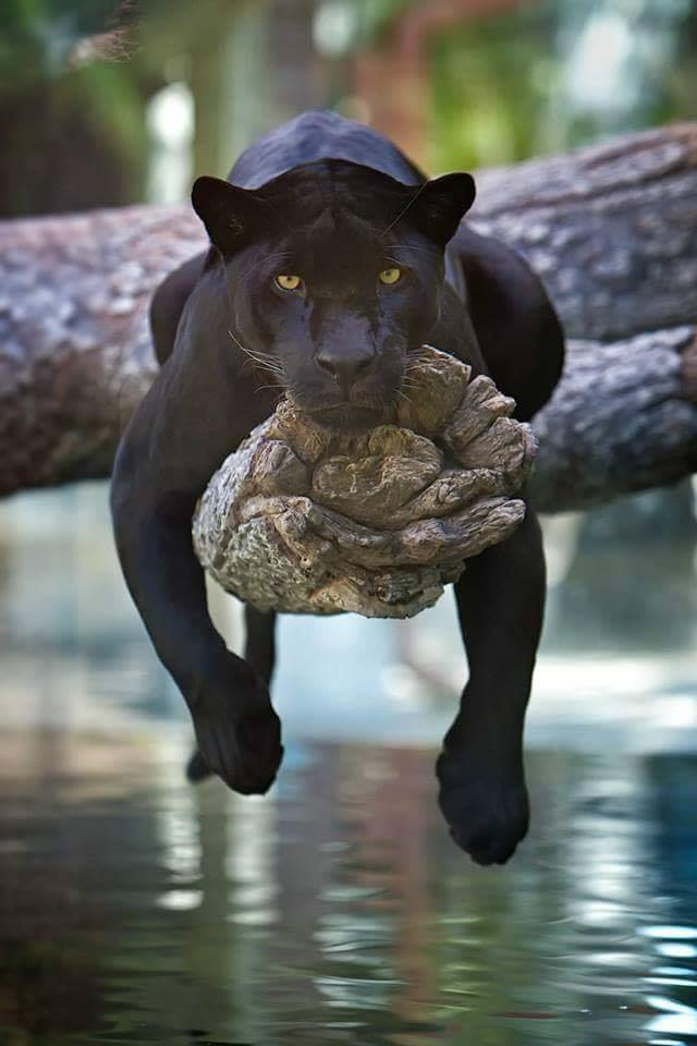 Black Panther chilling on a tree! :D