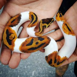 Halloween ready!  This Piebald Ball Python Has Pumpkins on it's skin!