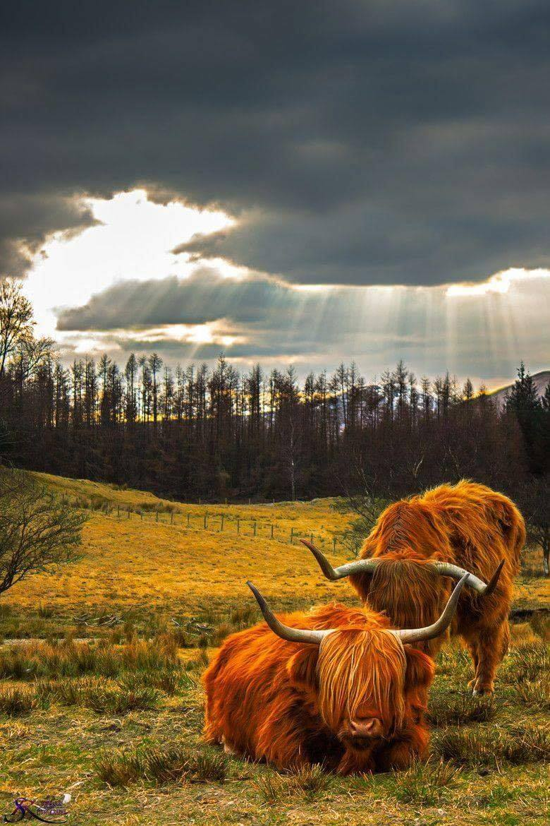 Highland Cows in Scotland–wish we were going to the Highlands