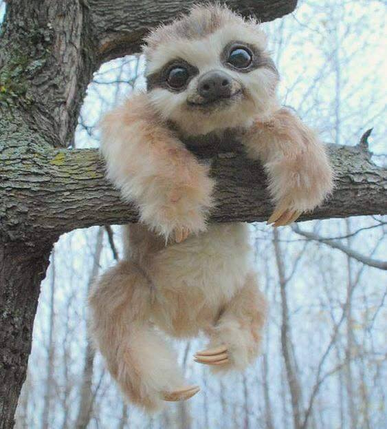 I see your baby lemming, and raise you this baby sloth. <3