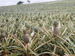 In case you ever wondered how pineapples grow.. :)