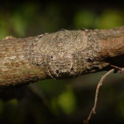 Known as the wrap-around spider, this spider can flatten and wrap its body around tree limbs as  ...