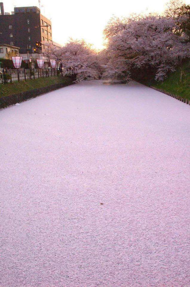 River in Japan filled with cherry blossom petals. :)