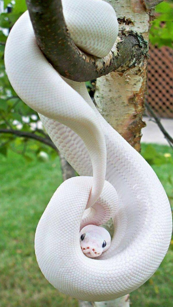 The Blue Eyed Leucistic Ball Python is an amazing looking paper white snake with bright blue eye ...