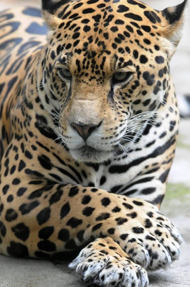 The Elegance of the jaguar. :o