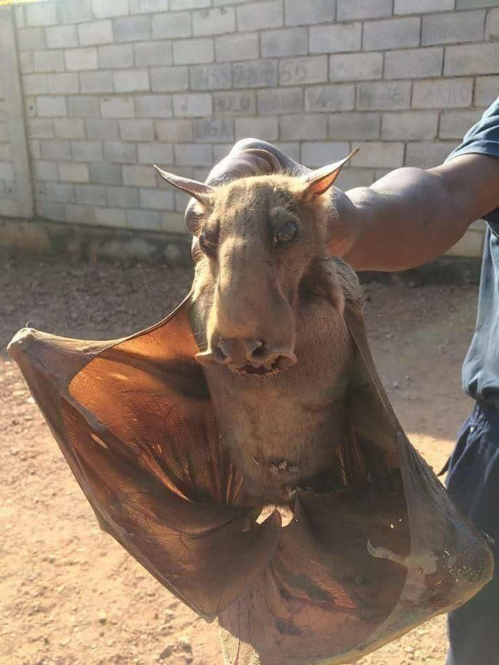 This is a hammerhead bat. It's a real creature, and it is exactly what nightmares are made ...