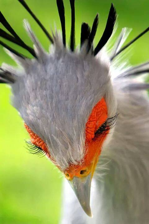 Those eyelashes! <3  Secretary bird