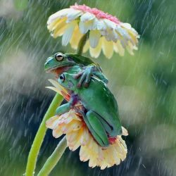 Two frogs using a flower as an umbrella. <3