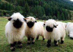 Valais Blacknose Sheep :D