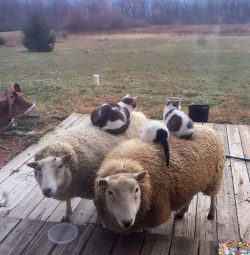 You've seen rabbit on a goat, now here are my cats on sheep! :D