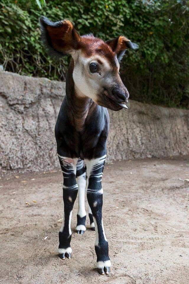 A beautiful baby Okapi <3 A beautiful baby Okapi