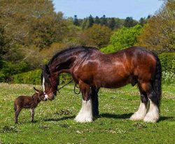 A fabulous shire horse and his little donkey buddy.