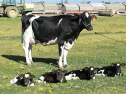 A one in 180 million chance- Cow has quadruplets. Eeny, Meeny, Miny, Moo   Say something about t ...