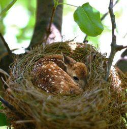 Baby deer finds warmth in bird's nest. :o
