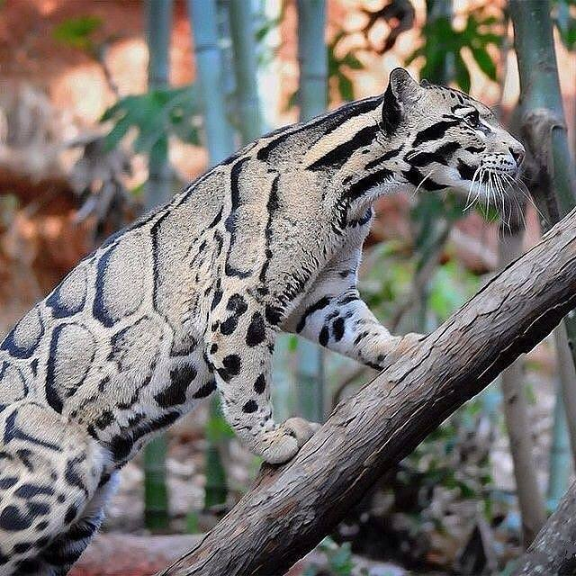 Beautiful Clouded Leopard