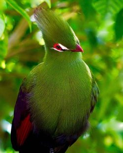 Beautiful Turaco Bird.