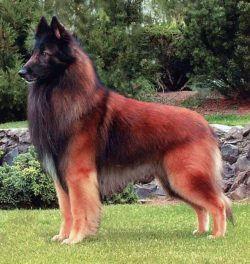 Belgian Tervuren Shepherd!   From 1 to 10 how beautiful is she? <3