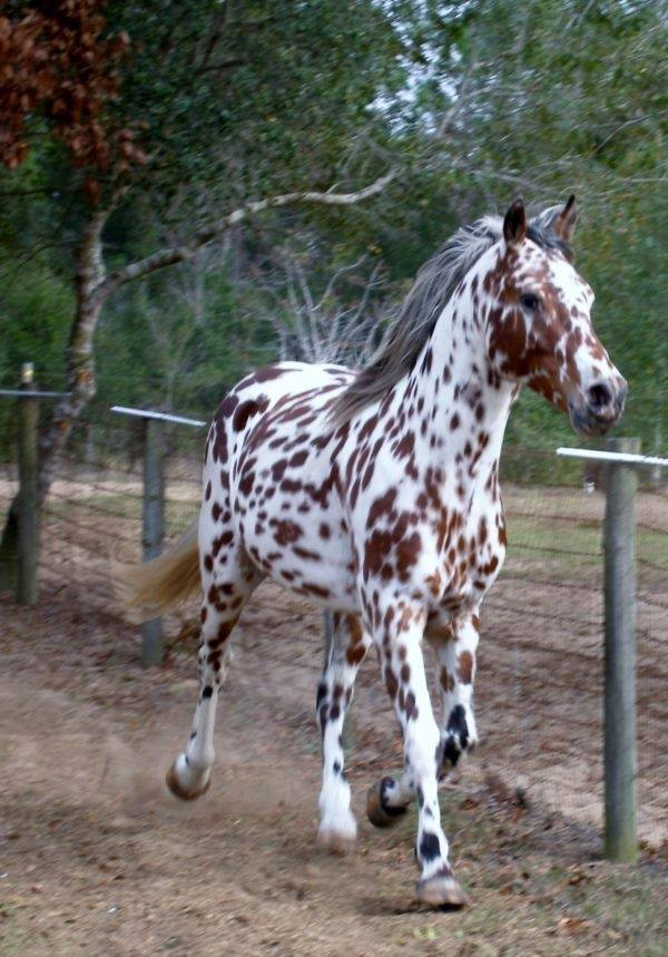 Had to share! (Y)  Who else thinks this Appaloosa horse is absolutely beautiful?