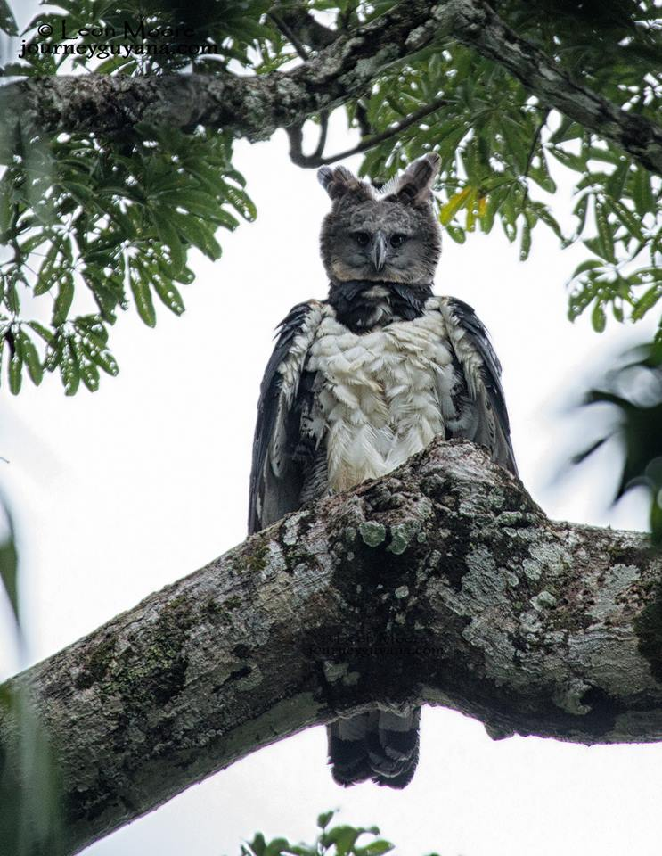 Harpy Eagle  Please say something about this amazing creature! :)