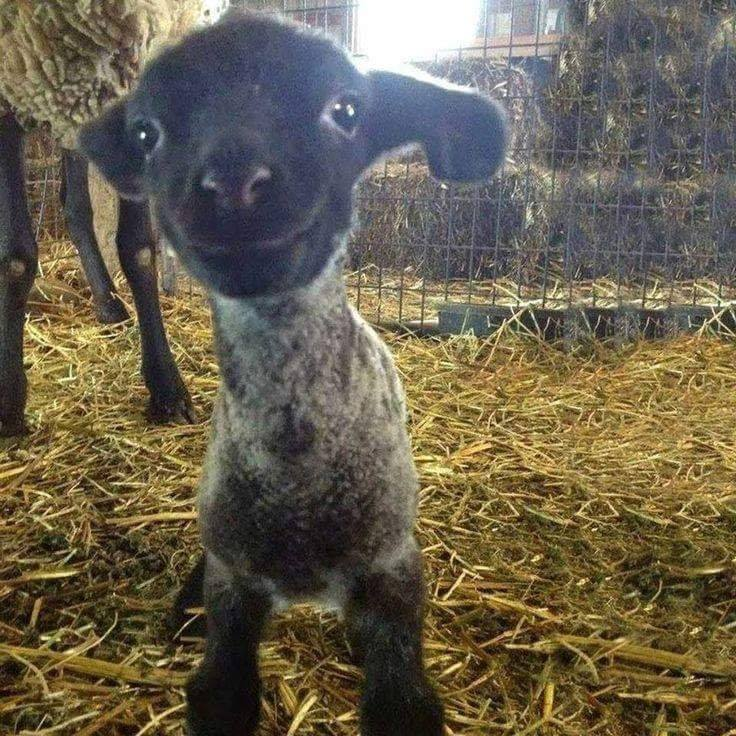 Having a bad day? Well, here is a smiling baby lamb! :)