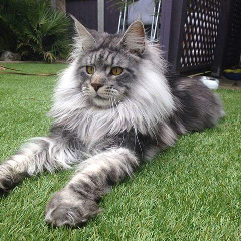 How adorable is this Norwegian Forest Cat??? How adorable is this Norwegian Forest Cat???