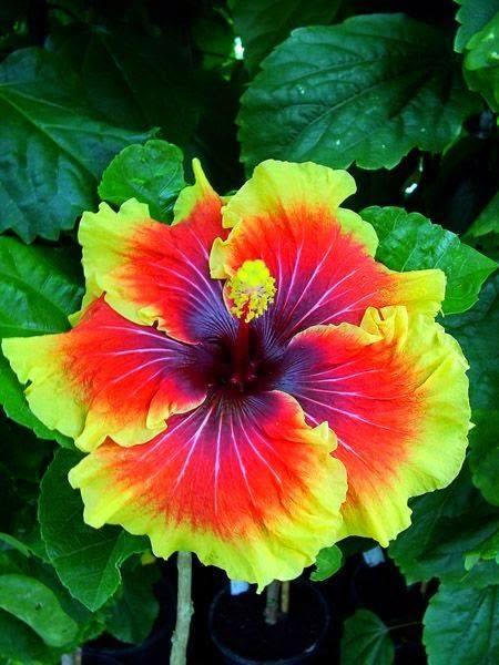 Hybiscus 'Tahitian Lion Queen' <3