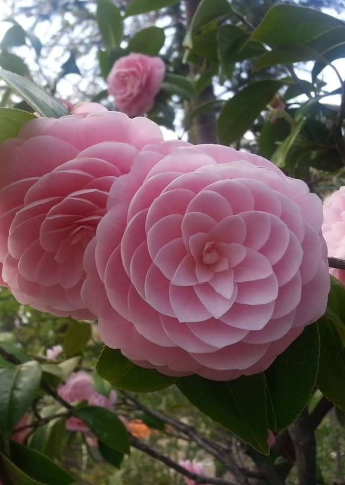 Japanese Flower: Phi at its finest! :o