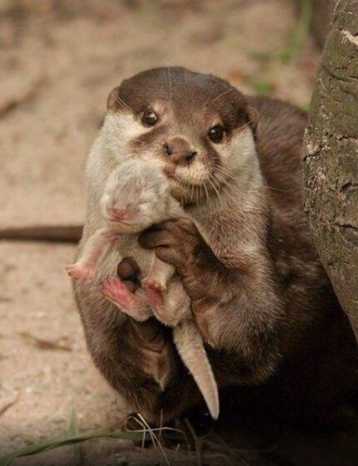 Mama Otter holding her baby <3