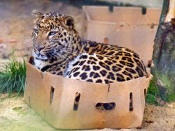 No matter how big they are, they still love boxes :)