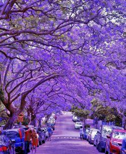 Purple blossom street  Milson Park, Sydney, Australia!