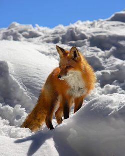 Red Fox – Colorado.