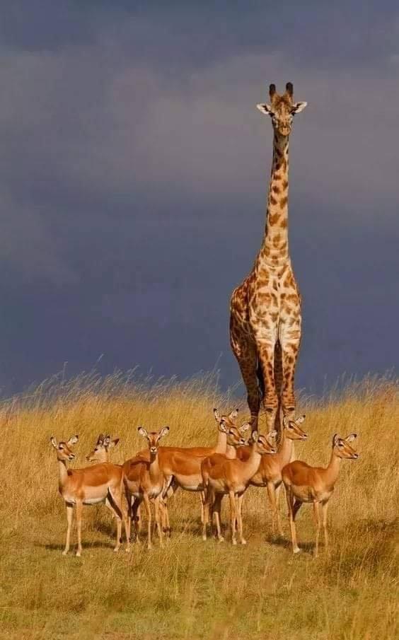 The giantness of a Giraffe! :o