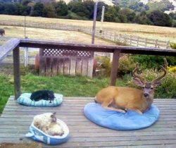 The homeowner said that the buck shows up everyday, so they gave him a bed. :D