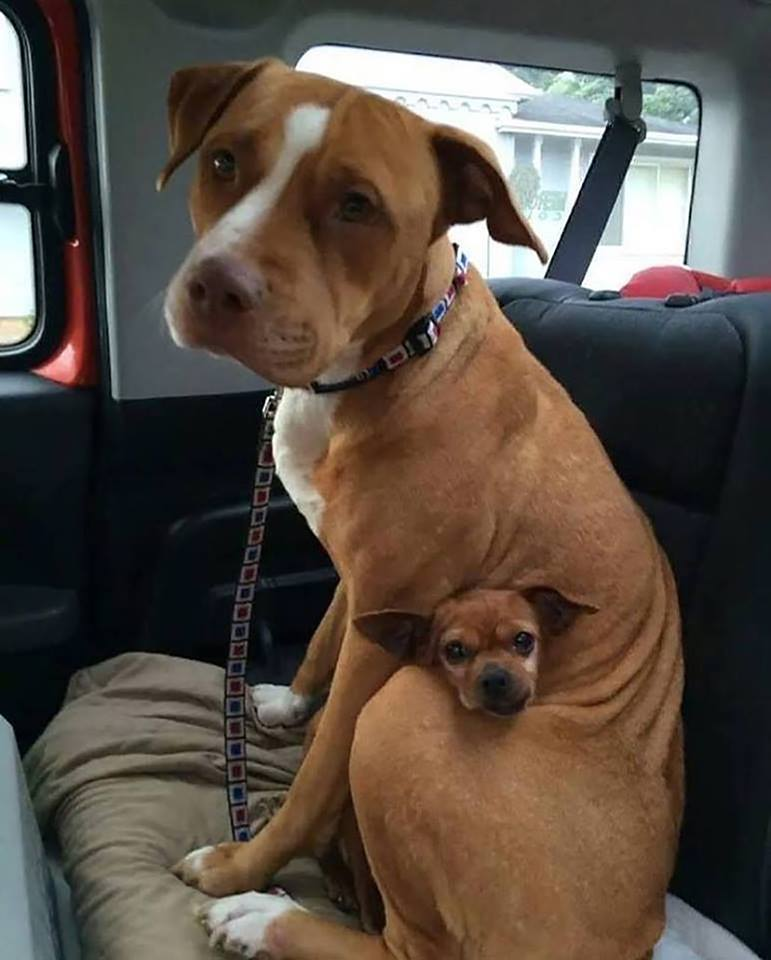This Pitbull wouldn't leave the shelter without the chihuahua he was protecting, so the ow ...