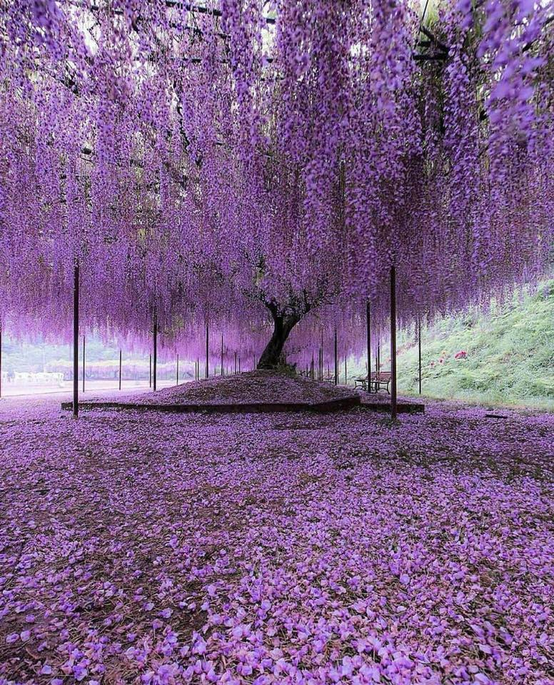 Wisteria Trees in Hyogo, Japan! :o