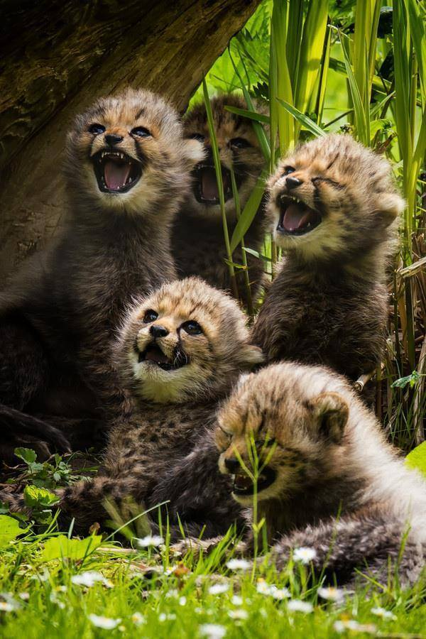Adorable baby cheetahs