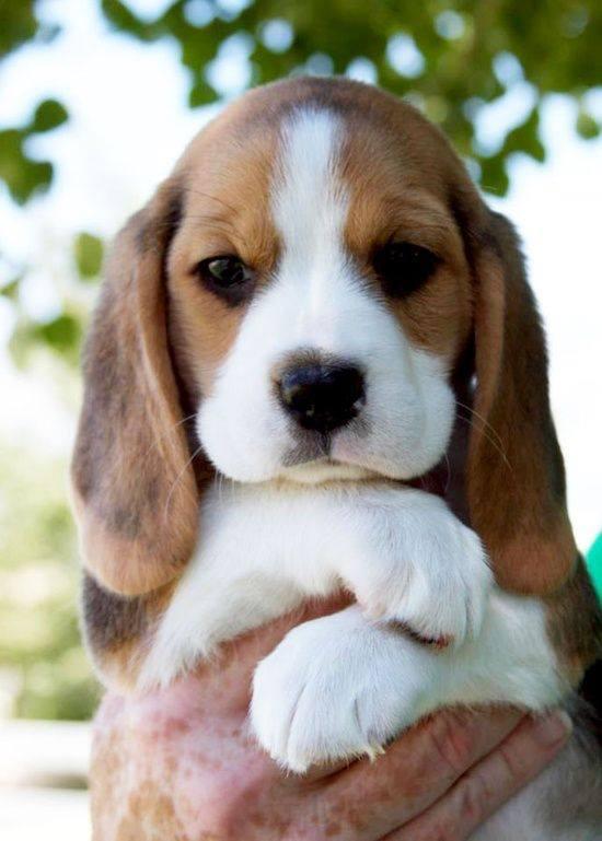 Adorable cute beagle puppy <3