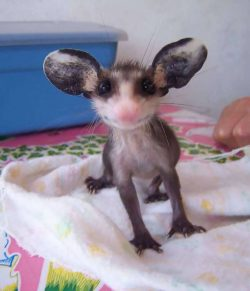 Baby Opossum….cute or creepy? :)
