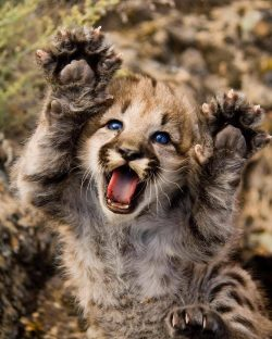 Baby mountain lion is the cutest thing I've ever seen!