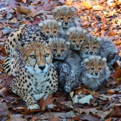 Beautiful Cheetah Family.   One word for this photo. :)