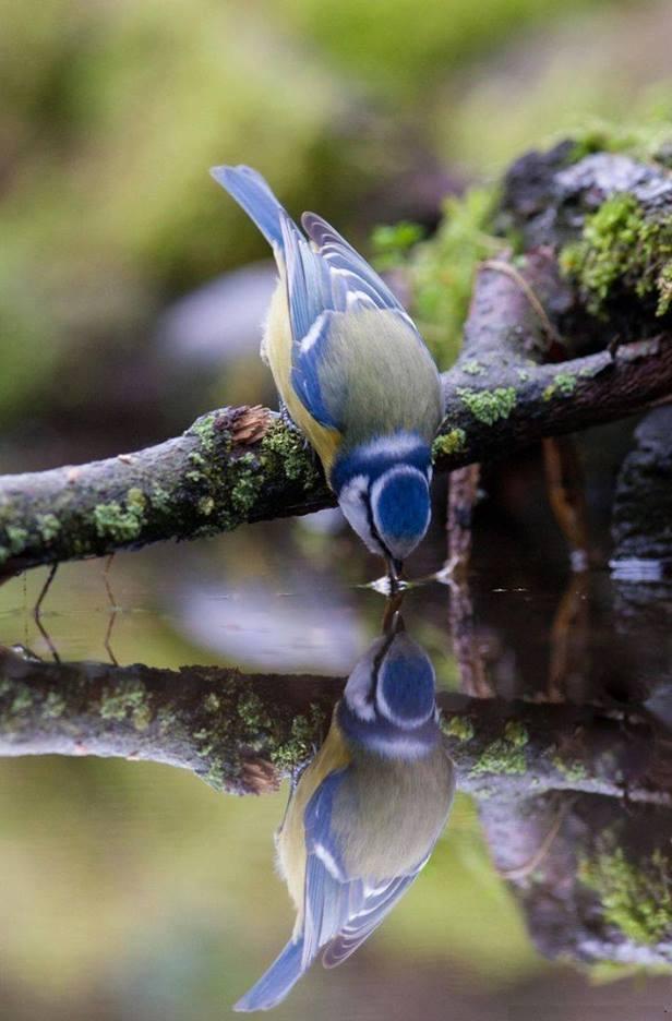 Blue Tit <3
