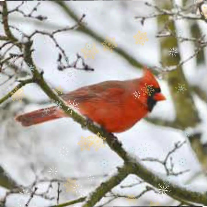Cardinals:Silent Night