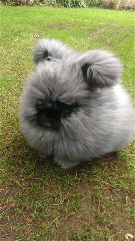 English Angora Rabbit <3