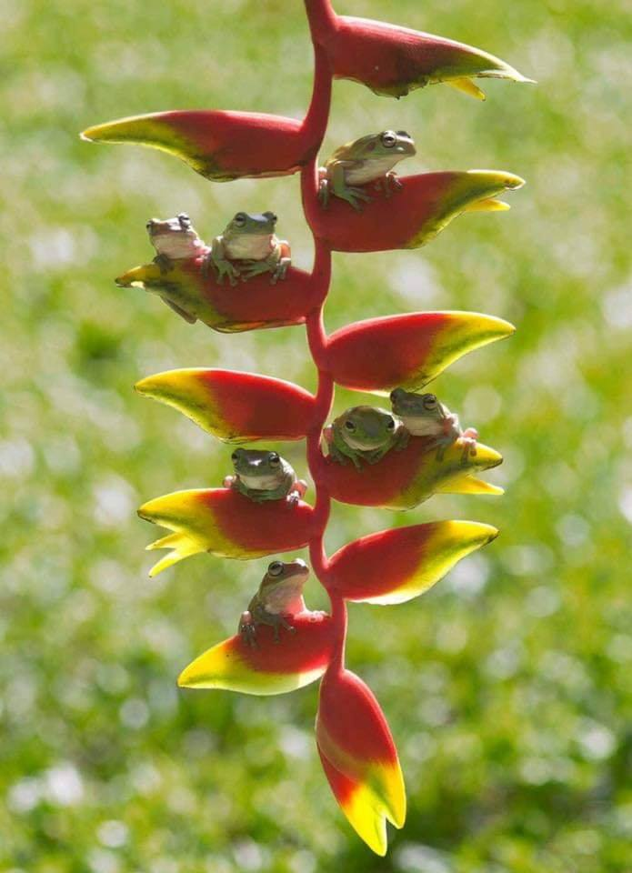 Frog family hanging out on Heliconia. :)