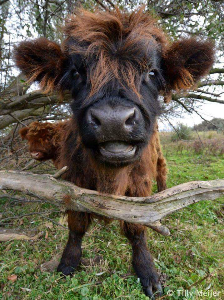 Highland Baby Cow Saying Hello to All Of You