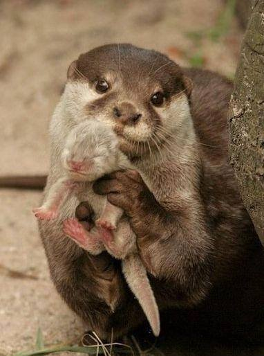 In case anyone's feeling crabby today; Here's an Otter showing you its baby. <3