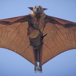 Indian flying fox with her pup