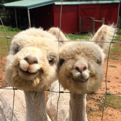 Just two alpacas smiling for a photo…  :)